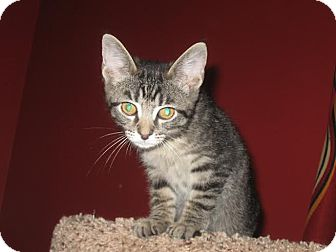 Domestic Shorthair Kitten for adoption in Columbus, Ohio - Walter