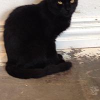 Domestic Shorthair Cat for adoption in Wichita Falls, Texas - Lancelot