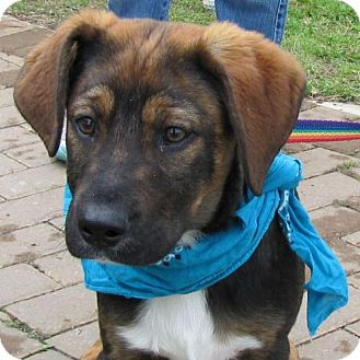 Shepherd (Unknown Type) Mix Puppy for adoption in Port St. Joe, Florida - Dominic
