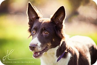 Border Collie Mix Dog for adoption in Corning, California - ROXY
