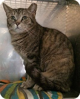 Domestic Shorthair Cat for adoption in Loogootee, Indiana - Patty