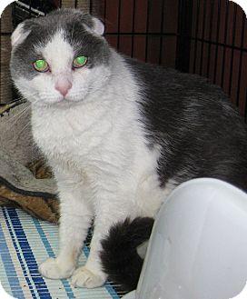 Scottish Fold Cat for adoption in Randolph, New Jersey - Alcatraz