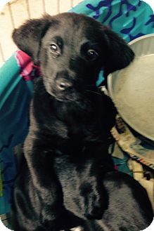 Labrador Retriever Mix Puppy for adoption in Pompton Lakes, New Jersey - Black lab mix male