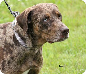 Catahoula Leopard Dog Dog for adoption in Hibbing, Minnesota - Tater
