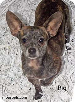 Chihuahua Mix Dog for adoption in Danielsville, Georgia - Pig
