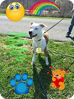 American Staffordshire Terrier/Spaniel (Unknown Type) Mix Dog for adoption in Homer, New York - Lex
