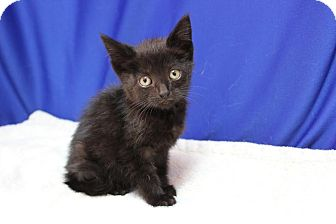 Domestic Shorthair Kitten for adoption in Midland, Michigan - Journey - FIV +