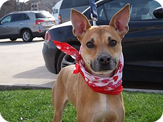 Whippet Mix Dog for adoption in White Settlement, Texas - Maggie
