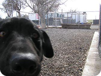 Labrador Retriever Mix Dog for adoption in Delta, Colorado - Jr.