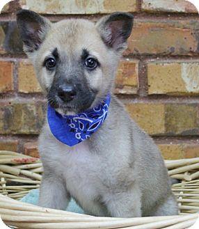 Shepherd (Unknown Type)/Shiba Inu Mix Puppy for adoption in Benbrook, Texas - Bear