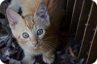 Domestic Shorthair Kitten for adoption in Washington, Georgia - Cheezit
