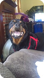 Rottweiler Dog for adoption in New Smyrna Beach, Florida - RAMBO