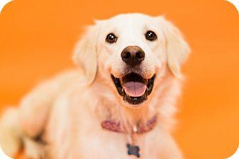 Great Pyrenees/Golden Retriever Mix Dog for adoption in Cincinnati, Ohio - Luray