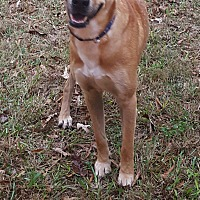 Adopt A Pet :: Scooby - Gainesville, GA