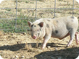 Pig (Potbellied) for adoption in Georgetown, Kentucky - Houdini