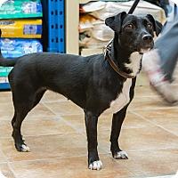 Adopt A Pet :: Vickie - Rigaud, QC