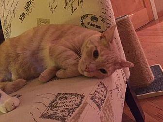 Domestic Shorthair Cat for adoption in Walnut Creek, California - Toby