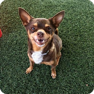 Chihuahua Mix Dog for adoption in Valencia, California - Spencer