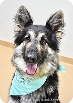 German Shepherd Dog Mix Dog for adoption in Dublin, California - Pizza