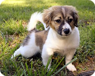 Jack Russell Terrier/Pomeranian Mix Puppy for adoption in Manassas, Virginia - Rowan