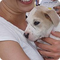 Adopt A Pet :: Beau Biscuit - Lompoc, CA