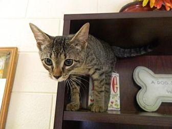 Domestic Shorthair Kitten for adoption in Randleman, North Carolina - Betty