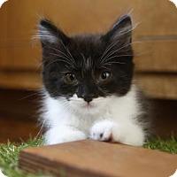 Adopt A Pet :: Harlow - San Jose, CA