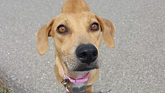 Hound (Unknown Type)/Labrador Retriever Mix Dog for adoption in Ft. Myers, Florida - Belle