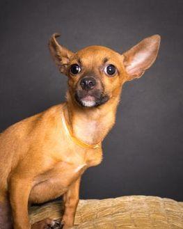 Chihuahua Mix Dog for adoption in Santa Paula, California - Daniel