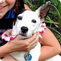 Adopt A Pet :: D27 litter Ruby (mom) - Livonia, MI