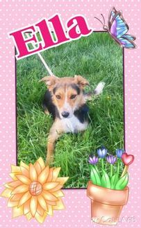 Border Collie/Australian Cattle Dog Mix Dog for adoption in La Grande, Oregon - Ella