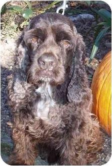 Cocker Spaniel Dog for adoption in Sugarland, Texas - Lee