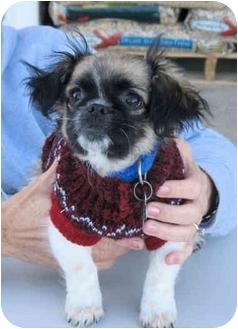 Shih Tzu/Chihuahua Mix Puppy for adoption in Paragould, Arkansas - BooBoo