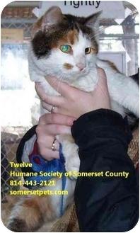 Domestic Shorthair Cat for adoption in Somerset, Pennsylvania - Twelve