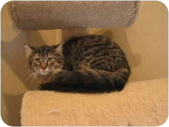 Domestic Longhair Cat for adoption in Marion, Wisconsin - Howard