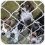 Photo 2 - Beagle/Basset Hound Mix Puppy for adoption in Cincinnati, Ohio - Baby Beagles!
