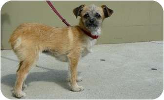 Terrier (Unknown Type, Small) Mix Puppy for adoption in Culver City, California - Greta