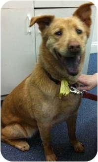 Golden Retriever/Chow Chow Mix Dog for adoption in South Euclid, Ohio - Greta