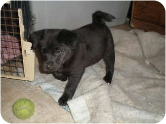 Labrador Retriever/Chow Chow Mix Puppy for adoption in Franklin, Virginia - Gemma
