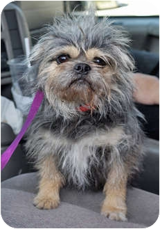 Brussels Griffon/Terrier (Unknown Type, Small) Mix Dog for adoption in Los Angeles, California - TOAST