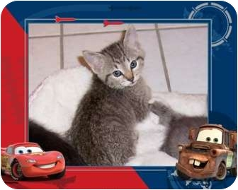 Abyssinian Kitten for adoption in Taylor Mill, Kentucky - Tater-7 week baby