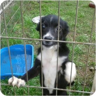 Australian Shepherd Mix Puppy for adoption in Albany, New York - Marie