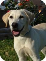Labrador Retriever Mix Dog for adoption in Torrance, California - DodgerDog