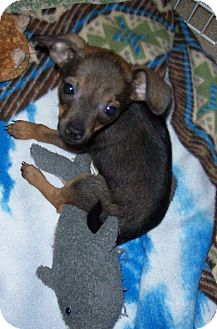 Chihuahua Mix Puppy for adoption in Yuba City, California - Tink