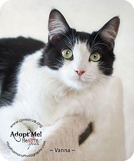 Domestic Mediumhair Cat for adoption in Phoenix, Arizona - Vanna