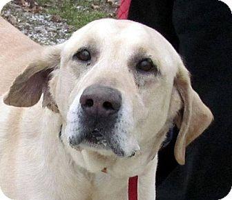 Labrador Retriever Dog for adoption in Dublin, Ohio - Sonny
