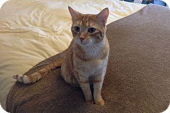 Domestic Shorthair Cat for adoption in Daytona Beach, Florida - Nibbler