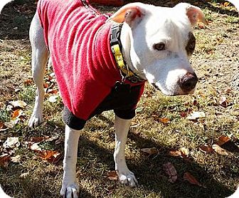 American Pit Bull Terrier Mix Dog for adoption in Cranston, Rhode Island - Zephyr