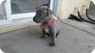Pit Bull Terrier Mix Puppy for adoption in Las Vegas, Nevada - Jade