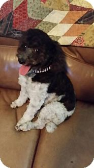 Poodle (Miniature) Mix Dog for adoption in Las Vegas, Nevada - Dudley